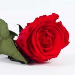 Rosa_cabeza_tumbada